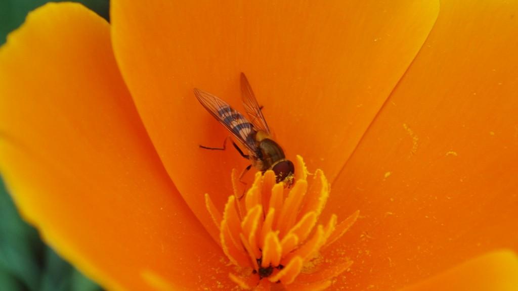 Bee collecting pollen from orange flower