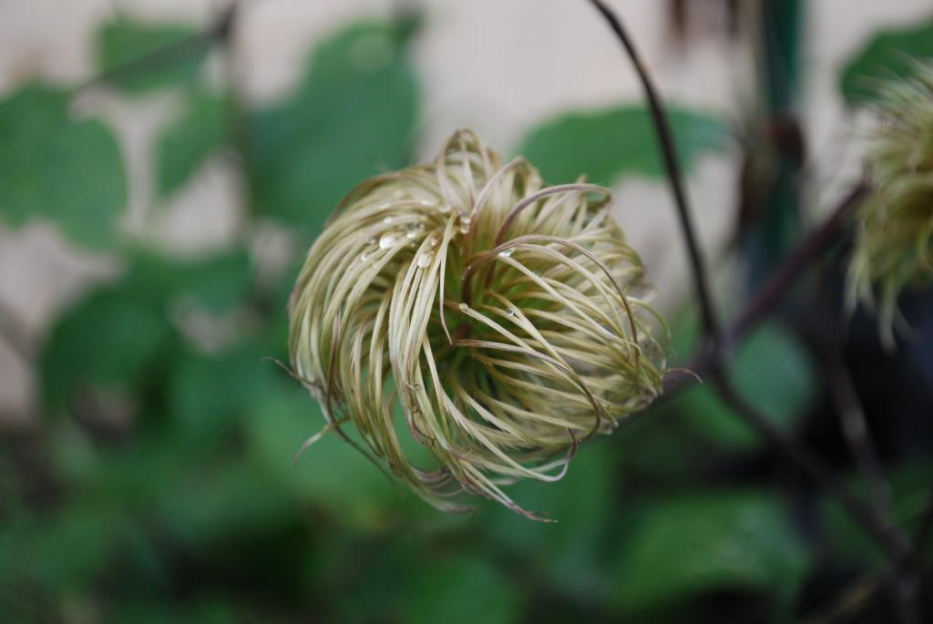 Wavy hair plant